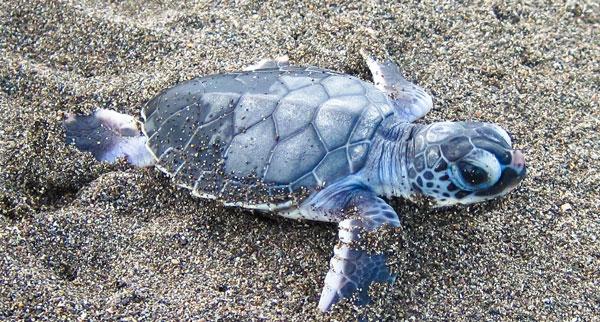sea turtle dig